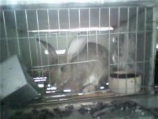 供應懷孕母兔價格 養兔賺錢嗎 種羊價格 養羊技術培訓