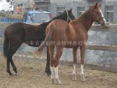 養馬 養馬場 養馬技術 養馬基地 迷你馬 家樂養馬品種