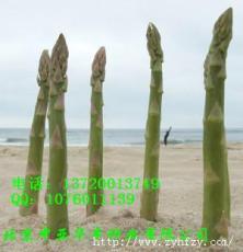 美国进口泽西奈特-芦笋种子
