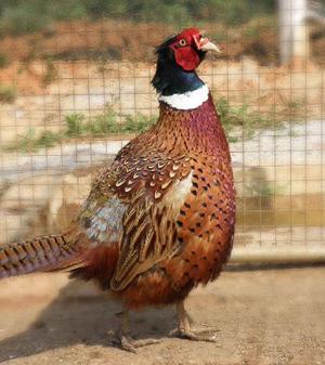 成都山鸡养殖 成都山鸡养殖场 成都山鸡养殖基地