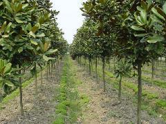 金彪苗圃广玉兰种植基地 提供9月南京最新广玉兰树价格