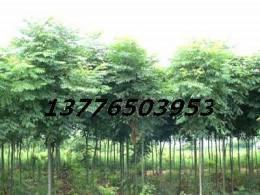 余林苗圃提供9月最新 南京樸樹價格 榔榆價格 欒樹價格