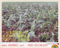 廣州薈源農業科技有限公XG司鐵皮石斛種植創造巨大價值