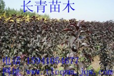 紫葉海棠/光輝海棠/王族海棠
