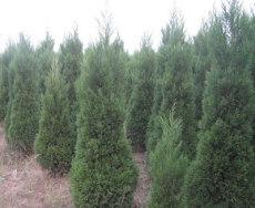 南京余林苗圃提供 南京蜀檜價格 南京蜀檜 蜀檜價格