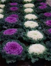 山東省青州市萬美花卉供應草花 羽衣甘藍 冬季草花