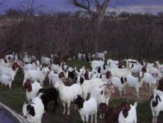 大量销售各种肉羊波尔山羊小尾寒羊品种育肥养殖