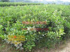 供应红皮红肉蜜柚苗木