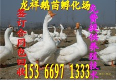 河南鹅苗价格 郑州鹅苗价格 开封鹅苗价格