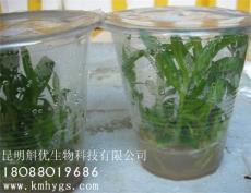 出售铁皮石斛苗优质石斛种苗软角红杆铁皮石斛苗