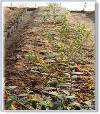 藍莓苗木 藍莓苗木新品種 大連藍莓苗木