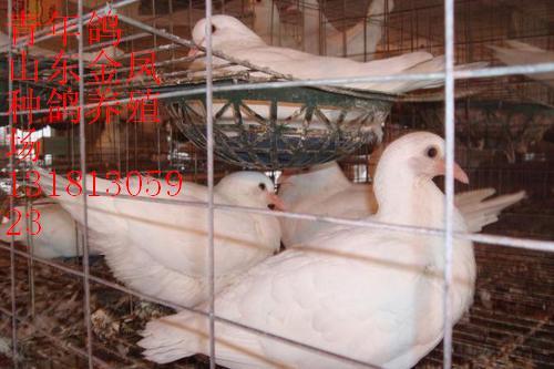 鸽子养殖视频 致富经鸽子养殖视频 鸽子养殖视频捕鸽器-信鸽子养殖 图片