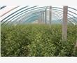 櫻桃苗信譽高批發低價促銷 櫻桃苗最給力直銷降價銷售