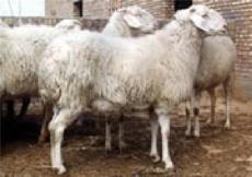小尾寒羊主产区 山东最大的肉羊繁育总公司