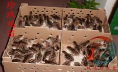岳阳珍珠鸡苗-岳阳珍珠鸡养殖-CCTV致富经推存养殖项目