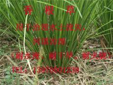 香根草耐旱又耐涝防止山体滑坡水源污染退化土壤的恢复