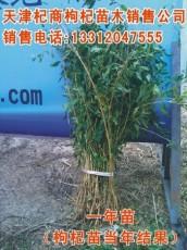出售枸杞苗-枸杞苗检测-种植占地用苗