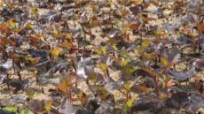 樟子松 樟子松 金叶复叶槭 金叶榆 五角枫 火炬
