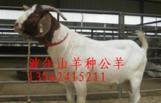 2012年波尔山羊价格