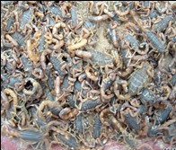 山東蝎子養殖技術 山東蝎子人工養殖 山東蝎子養殖基地