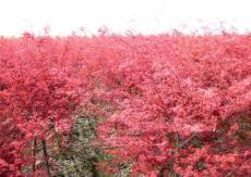 紅豆杉 國旗紅紫薇 桂花苗