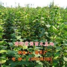 白玉蘭清香遠溢 冀園出售