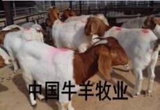 廣州養殖哪個品種羊最好 波爾山羊養殖效益好