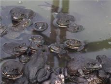 牛蛙養殖技術億發興邦