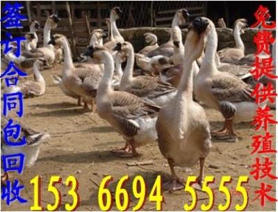 湖州鹅苗价格桂林鹅苗价格行情 成都鹅苗价格
