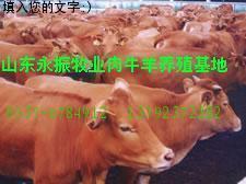 山西天鎮肉牛養殖場 肉牛養殖基地