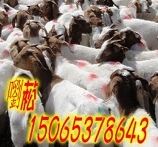 育肥小羊羔 小尾寒羊種羊 西門塔