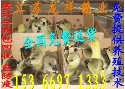 六安鹅苗价格/六安鹅苗什么价格/平顶山鹅苗价格