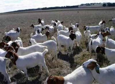 山东专业的养殖基地供应肉牛波尔山羊小尾寒羊