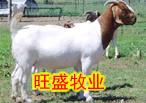 重慶適合養羊嗎