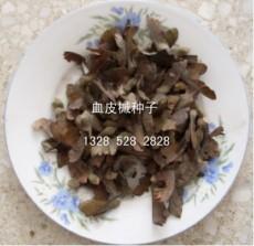 血皮槭種子