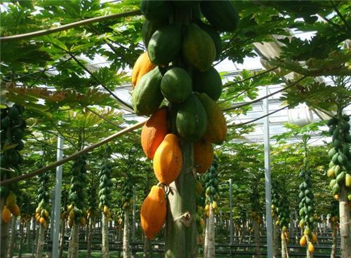 木瓜树 木瓜种子
