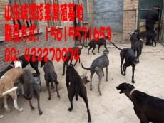 格力犬牧羊犬幼犬靈緹格力犬價格格力犬養殖場