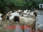 山東波爾山羊效益分析與成本