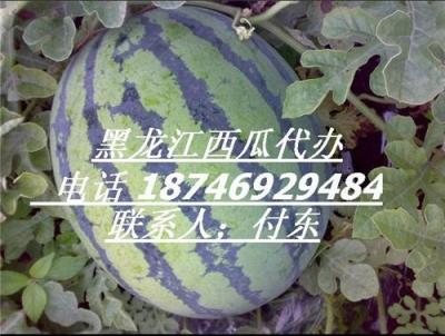 黑龙江绥化西瓜 东北西瓜 供应西瓜